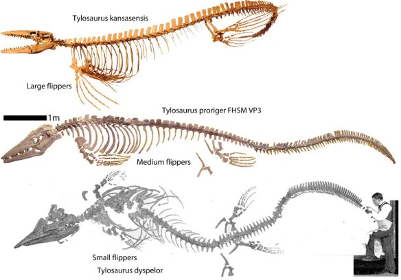 Figure 1. Tylosaurus represented by three species. T. kansasensis, T. proriger and T. dyspelor. Note the differences in flipper size.