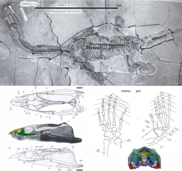 Figure 1. Wangosaurus. Click to enlarge.