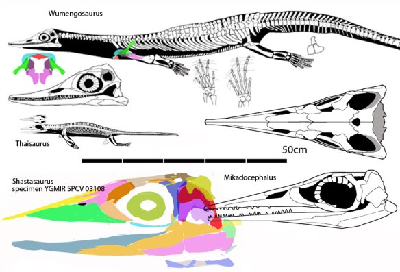 Figure 3. Basal ichthyosauria to scale. Here Wumengosaurus, Thaisaurus, Mikadocephalus and a specimen attributed to Shastasaurus are illustrated. Note the phylogenetic miniaturization shown by Thaisaurus, a trait often seen at the origin of major clades.