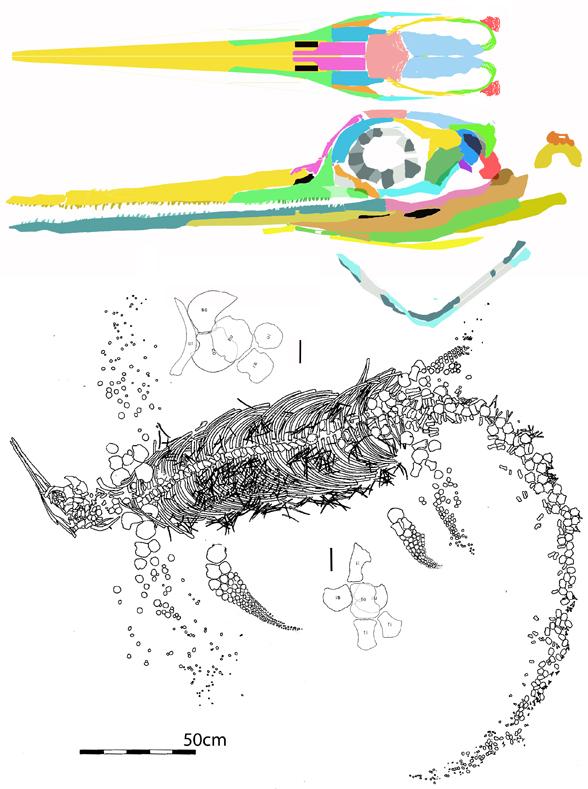 Figure 1. Besanosaurus in situ (below) and skull reconstructed (above).