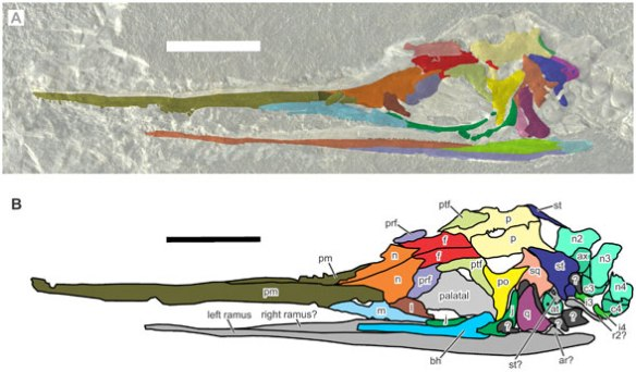 Figure 2. Eohupehsuchus has a skull similar to that of the basalmost ichthyosaur, Mikadocephalus.