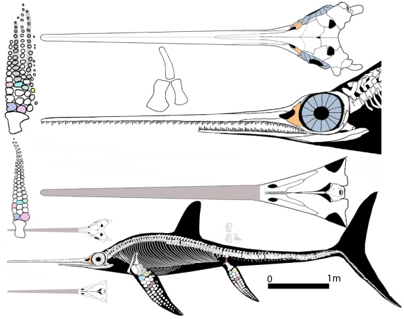 Figure 1. Eurhinosaurus, a derived ichthyosaur, in several views.