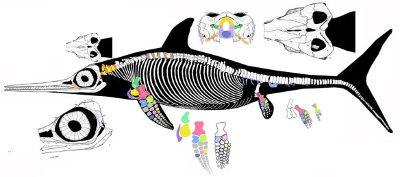 Figure 2. Leptonectes, a closely related, but more generally proportioned ichthyosaur.