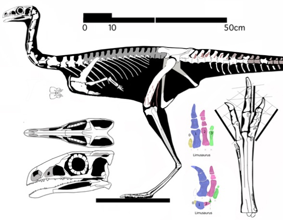 Figure 2. Limusaurus reconstructed. Both hands are shown and colorized. Digit 1= purple. Digit 2= pink. Digit 3 = Green. Digit 0=pale yellow. Digit 0 goes back to basal tetrapods, like Ichthyostega, and only appear here due to the vestigial nature of the manus in which it matured at an embryologically immature state compared to sister taxa.