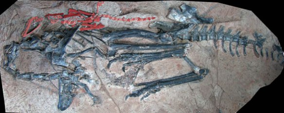 Figure 1. Limusaurus in situ. The associated croc has been painted red here.