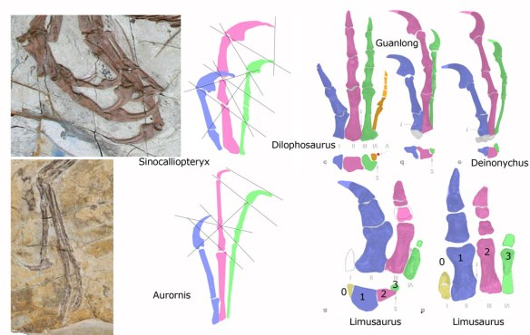 Figure 3. The manus of several theropods including Limusaurus. Here digit 1 is purple, digit 2 is pink and digit 3 is green. Note the presence of digit 0 in this vestigial hand, a holdover from basal tetrapods that has not been correctly identified by Xu et al. and others.