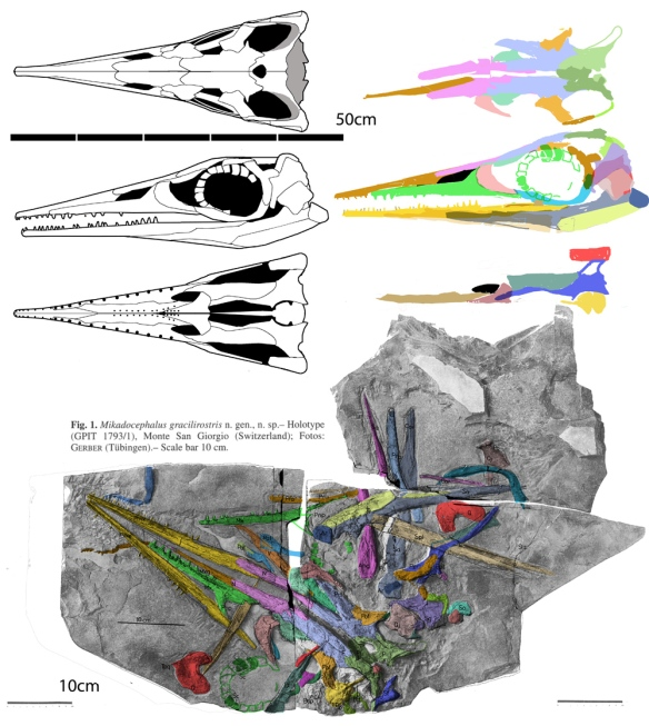 Figure 1. Mikadocephalus (Middle Triassic) now nests as the basalmost ichthyosaur, next to Eohupehsuchus and Wumengosaurus on one side and Utatsusaurus and Grippia on the other. Here the former premaxilla is the dentary and a few other bones are reidentified. And it's big, which means there are more primitive ichthyosaurs yet to be discovered in the Early Triassic.