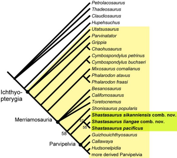 Figure 6. Phylogenetic relationships of Shastasaurus. This cladogram represents the strict consensus of 72 most parsimonious trees. Differences in topology among MPTs are mainly found among the outgroup taxa and the basal Merriamosauria. Derived Parvipelvia were part of the analysis but were omitted for clarity.