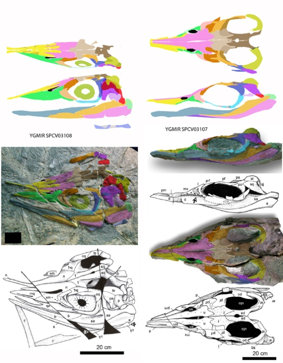 Figure 3. Two ichthyosaurs once considered Shastasaurus suction feeders. The 3107 specimen nests with S. sikanniensis and both taxa need a new genus name. The 3108 specimen is very primitive and nests with Mikadocephalus.