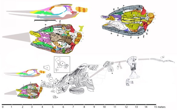 Figure 7. The giant sixth putative Shastasaurus, S. sikanniensis.