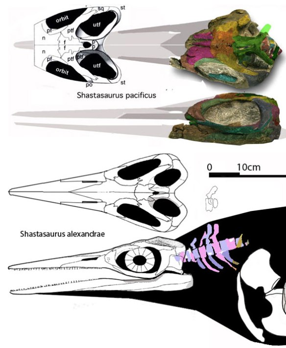 Figure 2. The two shastasaurs to scale. The differences in these sister taxa are subtle. Their sizes are comparable.