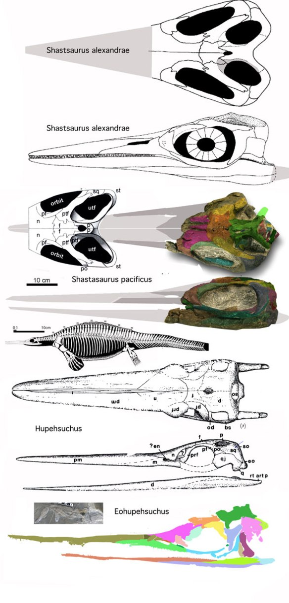 Figure 4. Two Shastasaurus specimens, one of them the holotype, compared to the related and much smaller Hupehsuchus and Eohupehsuchus.