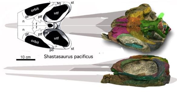 Figure 5. Shastasaurus