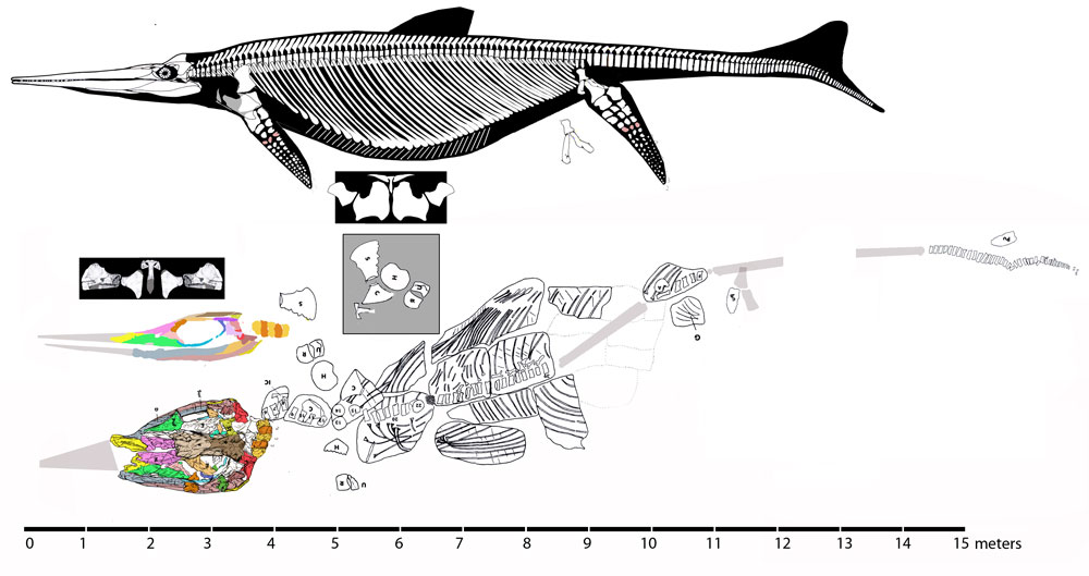 shonisaurus popularis vs �shonisaurus� sikanniensis the