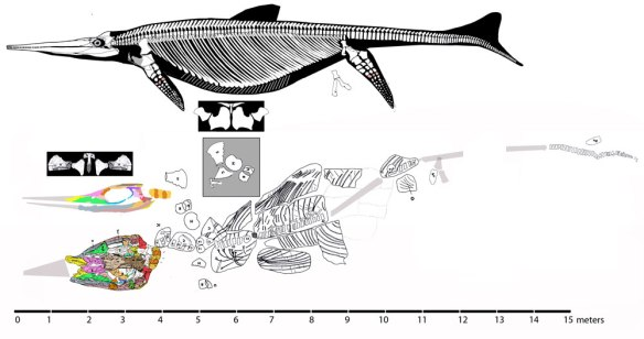 Figure 2. Shonisaurus populars compared to 'Shonisaurus' sikanniensis to scale.  Note the distinct skull and pectoral girdle morphologies.