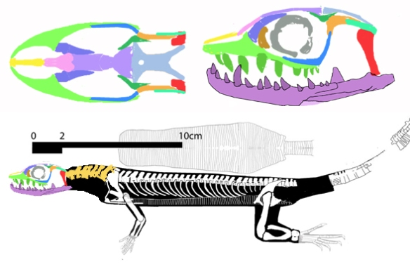 Figure 2. the TA!045 Permian varanid. This specimen sets the squamates back to the Early Permian and beyond to the Late Pennsylvanian.