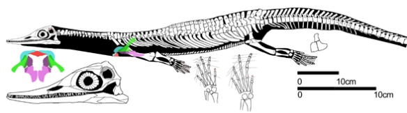 Figure 2. Wumengosaurus, a proximal outgroup taxon to hupehsuchids + ichthyosaurs.