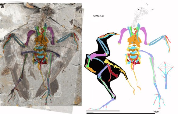 Figure 1. Archaeornithura meemannae DGS tracing over aligned plate and counter plate (left). Tracing without fossil at right. Lateral view of post cervical skeleton (with black body outline).