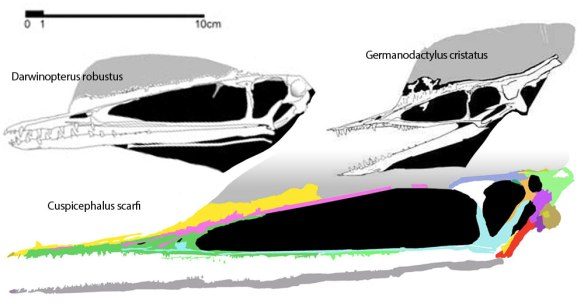 Figure 2. Cuspicephalus compared to Darwingopterus and to Germanodactylus, all to scale.