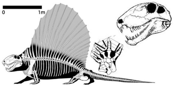 Figure 1. Dimetrodon, a sailback pelycosaur synapsid reptile of the Early Permian.