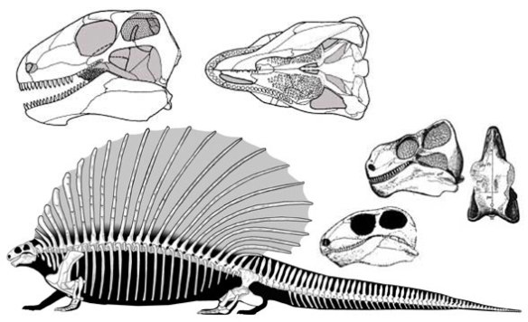 Figure 2. Edaphosaurus, a sailback pelycosaur synapsid reptile of the Early Permian.