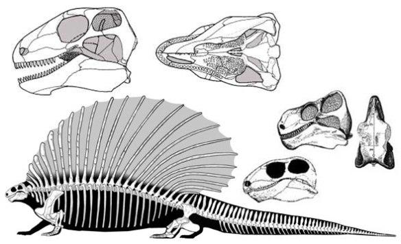 Figure 2. Edaphosaurus, a sailback pelycosaur synapsid reptile of the Early Permian.