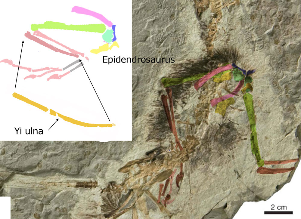 Figure 4. Right ulna of Yi (former 'styliform element') compared to right ulna of Epidendrosaurus.