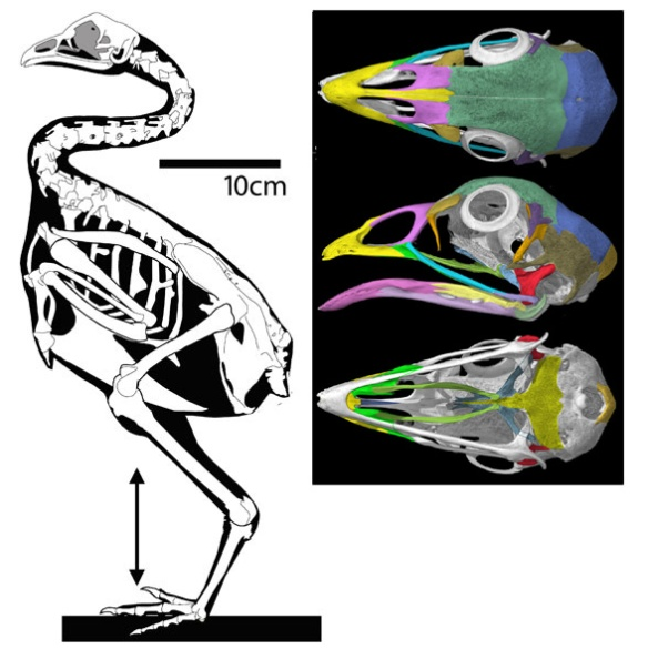 Figure 1. Gallus the chicken is representative of modern birds. Note the large size of the sternum and ventral pelvis, the fused manual bones, the extended cervical series and the reduced tail