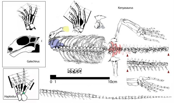 Figure 1. Kenyasaurus in situ. Click to enlarge. This rather plain specimen nests not with tangasaurids, but with dromasaurids according to the large reptile tree. Boxed area: the primitive dromasaur, Galechirus and its foot to scale for comparison. Haptodus foot for comparison, not to scale. Pink and green tarsals are absent in Kenyasaurus and dromasaurs.