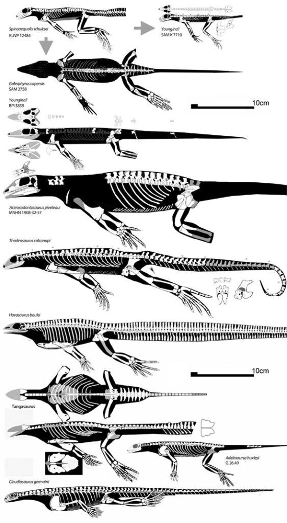 Figure 3. Spinoaequalis and descendant marine younginiformes.