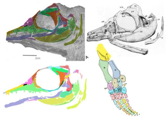 Figure 1. Parvinatator in situ (upper left) with DGS colors applied for bone identification. As originally interpreted (upper right). Reconstructed, repairing the jugal break (lower left). Flipper (lower right).