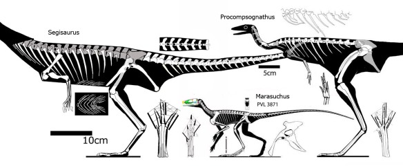 Figure 1. Procompsognathus, Marasuchus and Segisaurus nest together in the Theropoda despite their many differences.