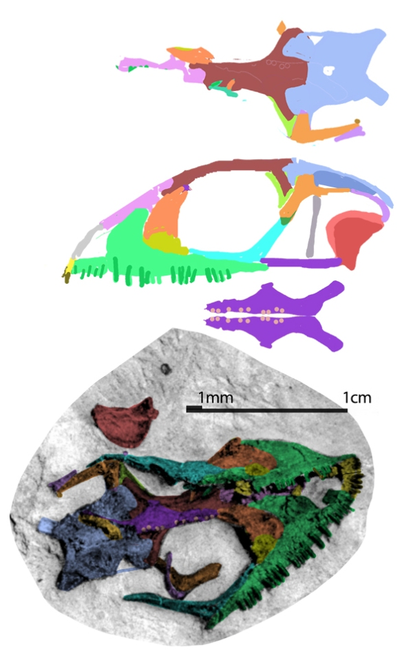 Figure 1. Purbicella in situ (palatal view) and traced using DGS, then reconstructed using those tracings. Gray areas are unknown. If you think this looks like a generalized, plesiomorphic scleroglossan, you're right! Here colorizing the bones helps identify sutures and paired elements. That's a right pterygoid covering much of the paired frontals. The teeth are blunt.