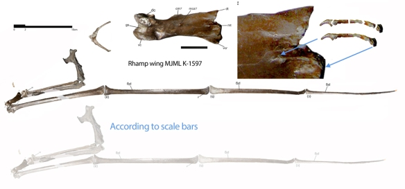 Figure 1. The MJML-K 1597100 specimen of Rhamphorhynchus described by O'Sullivan and Martill 2015. Watch out for those scale bars or your reconstruction will be odd. Also note the presence of a manual digit 5 in the traditional place, size and shape, pretty much fused to metacarpal 4. Pretty clearly shown  here. Click to enlarge.