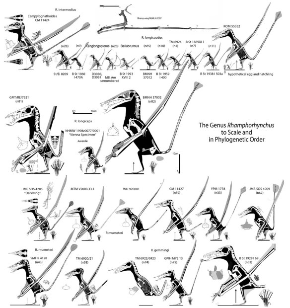 Figure 3. Bennett 1975 determined that all these Rhamphorhynchus specimens were conspecific and that all differences could be attributed to ontogeny, otherwise known as growth to maturity and old age. Thus only the two largest specimens were adults. O'Sullivan and Martill took the brave step of erecting a new species. The n52 specimen is at the lower right. Click to enlarge.