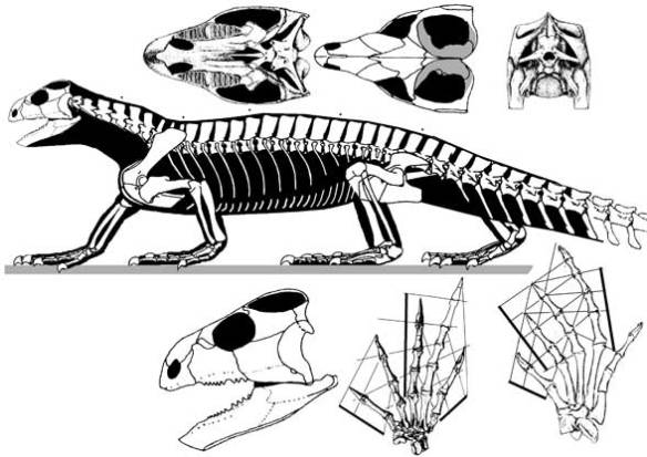 Figure 2. Trilophosaurus has filled in the lateral temporal fenestra, reduced the orbit and increased the upper temporal fenestra, among other differences with Azendohsaurus.