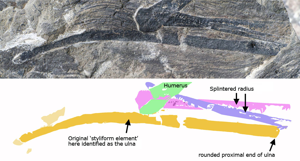 Figure 3. Right ulna (former styliform process) of Yi traced using DGS techniques. See Figure 4 for comparison to Epidendrosaurus.