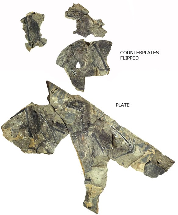 Figure 2. The Yi qi fossil plate and counter plates. Counterplates above and flipped to match plate.