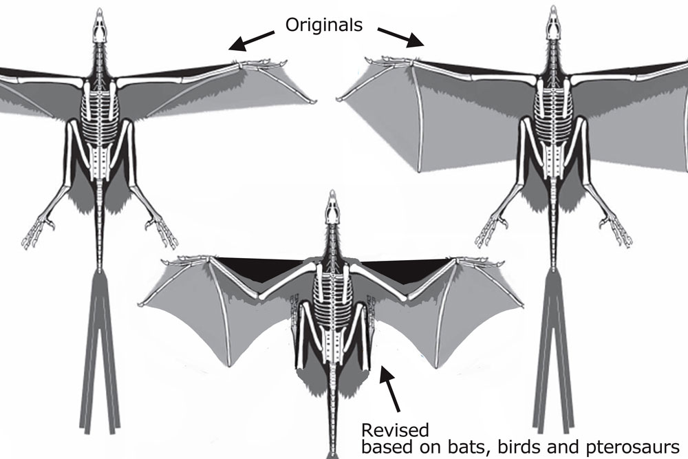 Figure 1. Above: the two Yi Qi reconstructions offered by Xu et al. Below: a little bend at the elbows, as in bats, birds and pterosaurs, probably replicates the wing a little bit better.