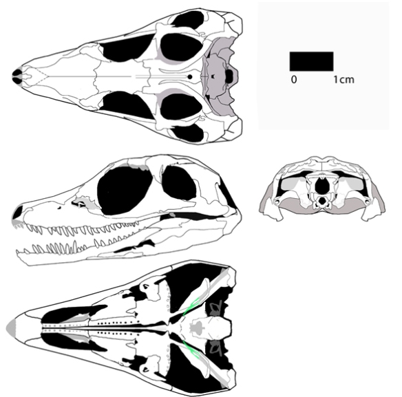 Figure 1. Youngoides romeri FMNH UC1528 demonstrates an early appearance of the antorbital fenestra in the Archosauriformes. This specimen is the outgroup to Proterosuchus, the traditional basal member of the Archosauriformes.