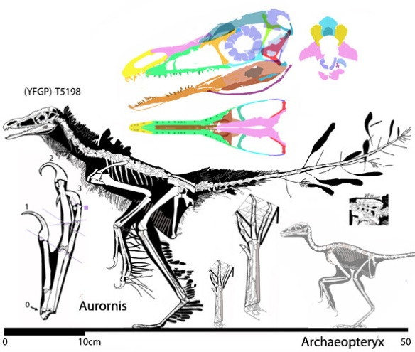 Figure 2. Aurornis in several views alongside Archaeoperyx to scale.