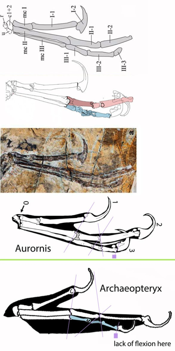 Figure 3. The manus of Aurornis as originally interpreted (above). As reinterpreted by comparison to Archaeopteryx below. Digit 3 was damaged and difficult to interpret. Digit 0 was originally overlooked. No only was Archaeopteryx smaller, it was more fully feathered and its bones were more gracile, all adaptations for flight.