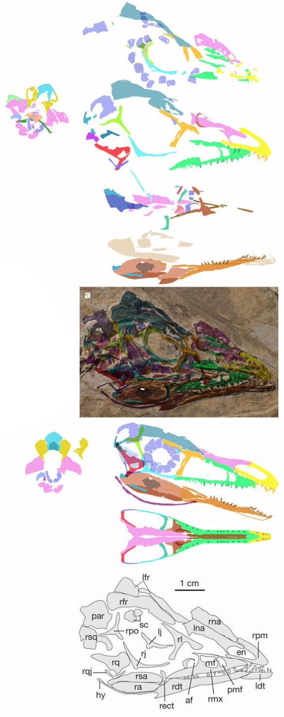 Fig. 1 Aurornis skull in situ, various elements segregated from the in situ fossil and reassembled into a complete and articulated skull. The hole in the surangular is an artifact. The little lavender ovals are displaced sclerotic bones. Below is the original published image of the Aurornis skull.