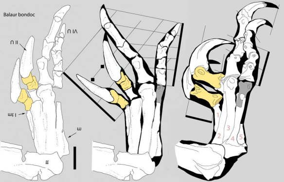 Figure 1. The right foot of Balaur bondoc, a raptor-like theropod dinosaur known chiefly from its limbs and pelvis. Note the two scythe claws here. Yellow phalanges are raised off the substrate during terrestrial locomotion. At left from Cau et al. 2015. Middle derived from that drawing. Right, traced from photo in Cau et al. 2015).