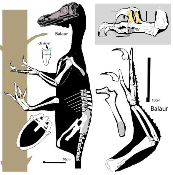 Figure 3. Balaur nested in the large reptile tree nests with Velociraptor, but that nesting is based on a relatively few limb traits.