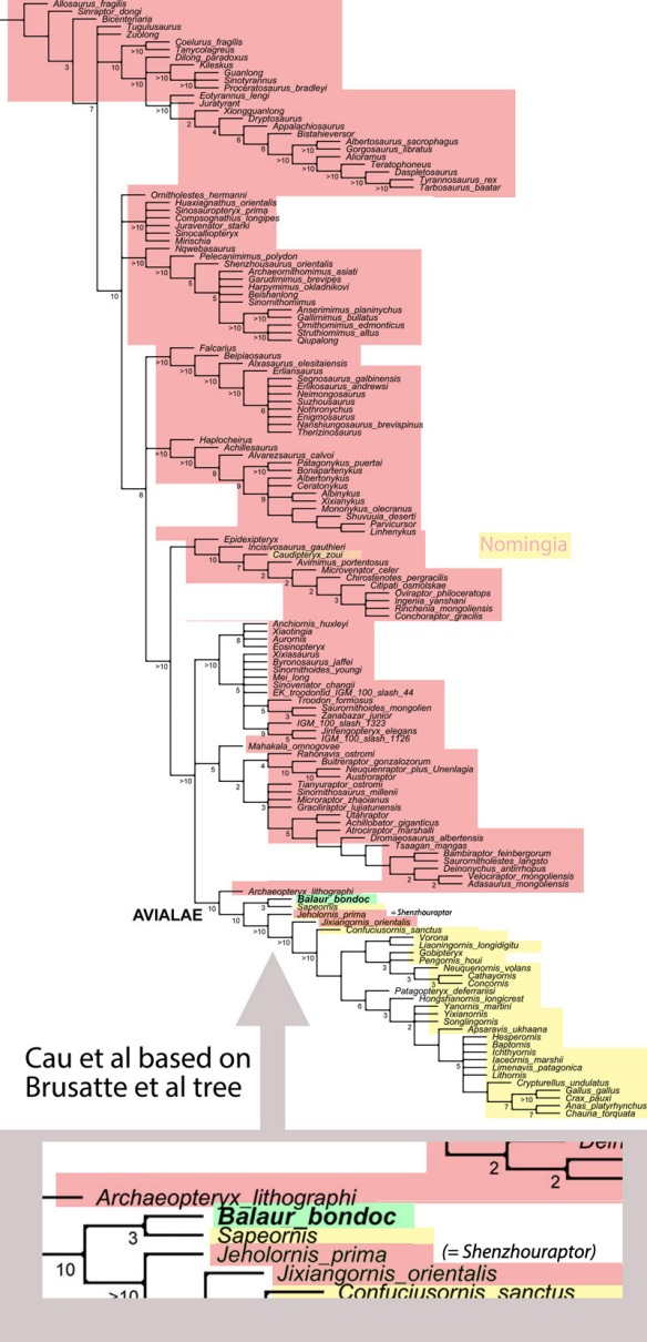 Figure 2 The Cau et al tree based on the Brusatte et al. tree. Note the nesting of Balaur among long-tailed post-Archaeopteryx birds, but a sister to Sapeornis, which has a pygostyle. Click to enlarge.
