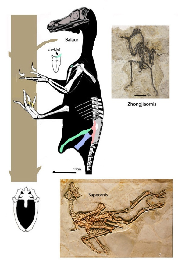 Figure 2. Balaur compared to Zhongjiaornis and Sapeornis, sisters recovered by Cau et al. 2015. Unfortunagely both these taxa had a pygostyle and the former lacked teeth. Both also were likely volant based on the large size of their forelimbs.