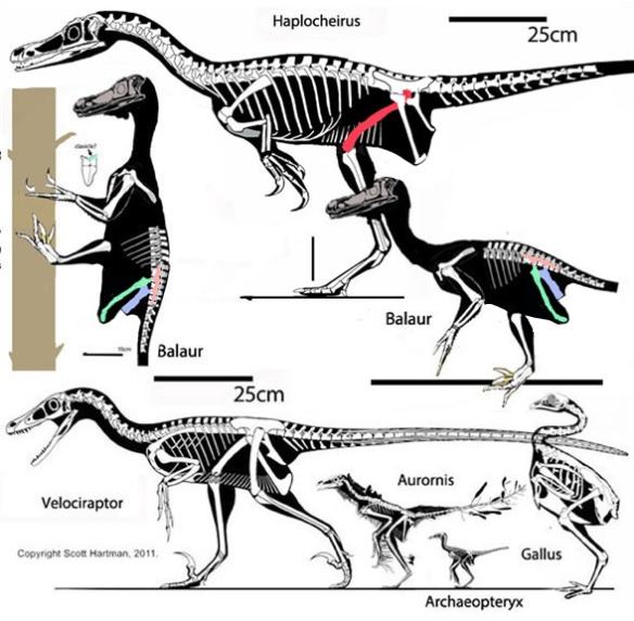 Figure 5. Balaur (in vertical and horizontal configurations) compared to Haplocheirus and Velociraptor, Aurornis, Archaeopteryx and Gallus. Balaur nests with Velociraptor in the large reptile tree.