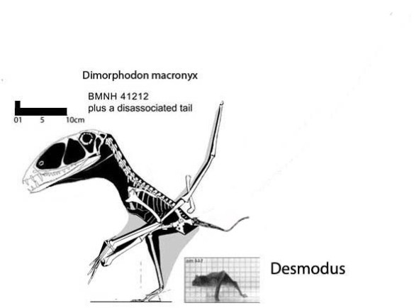Figure 3. Dimorphodon and Desmodus (the vampire bat) compared in size. It's more difficult for larger, heavier creatures to leap, as the mass increases by the cube of the height. Size matters. And yes the tail attributed to Dinmorphodon, though not associated with the rest of the skeleton, was that long. Note the toes fall directly beneath the center of balance, the shoulder glenoid, on this pterosaur, And it would have been awkward to get down on all fours.