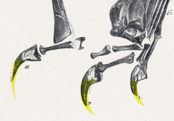 Figure 4. Dimorphodon fingers. Yellow added for keratin extensions. M. Witton suggests that these claws are inappropriate for grasping and so doesn't mind placing Dimorphodon into a quadrupedal pose, making everything awkward to impossible from that point on. These claws look trenchant to me, ideal for clinging to tree bark or other similar substrates.